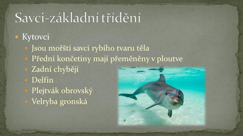 Kytovci Jsou mořští savci rybího tvaru těla Přední končetiny mají přeměněny v ploutve Zadní chybějí Delfín Plejtvák obrovský Velryba gronská
