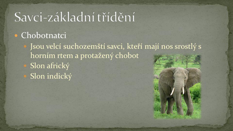 Chobotnatci Jsou velcí suchozemští savci, kteří mají nos srostlý s horním rtem a protažený chobot Slon africký Slon indický
