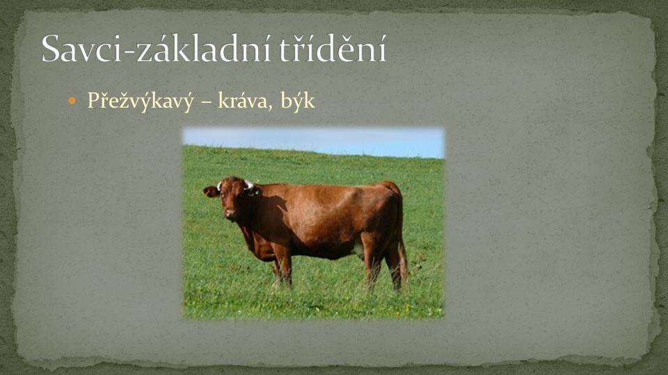 Přežvýkavý – kráva, býk