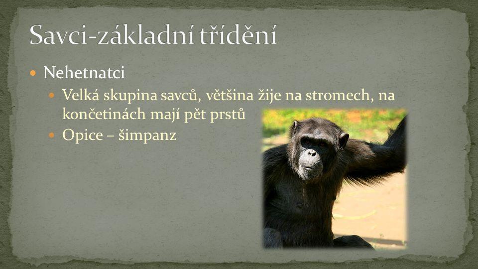 Nehetnatci Velká skupina savců, většina žije na stromech, na končetinách mají pět prstů Opice – šimpanz