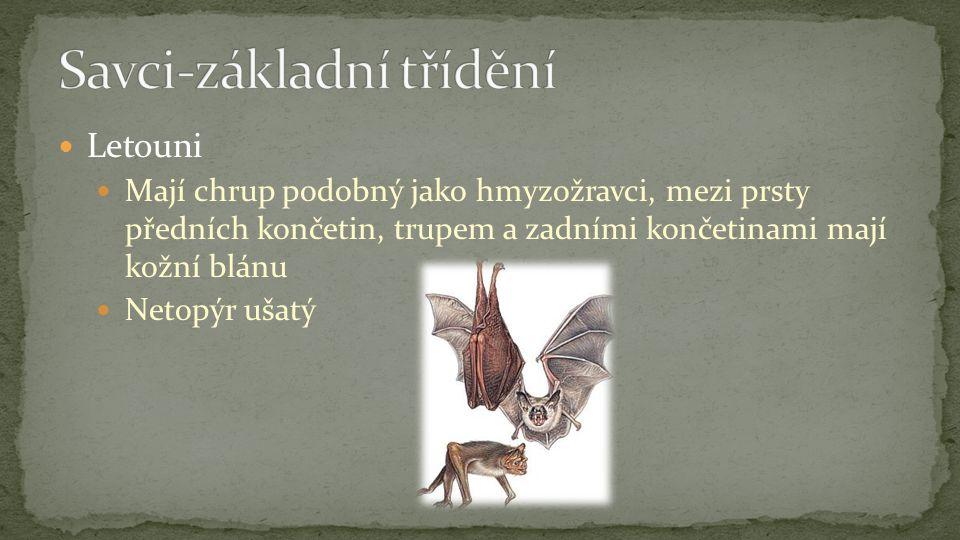 Letouni Mají chrup podobný jako hmyzožravci, mezi prsty předních končetin, trupem a zadními končetinami mají kožní blánu Netopýr ušatý