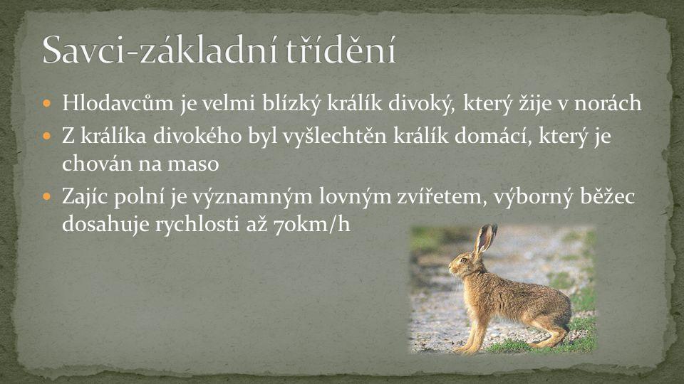 Hlodavcům je velmi blízký králík divoký, který žije v norách Z králíka divokého byl vyšlechtěn králík domácí, který je chován na maso Zajíc polní je v