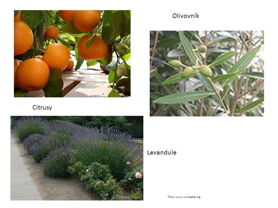 Citrusy Olivovník Levandule Foto: www.wikipedia.org