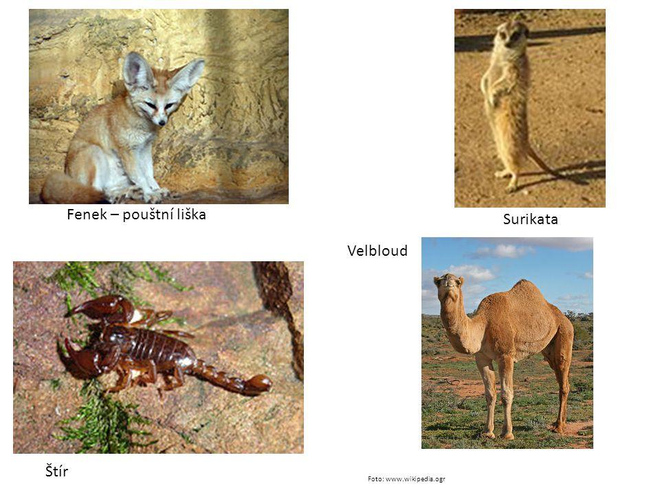 Fenek – pouštní liška Velbloud Surikata Štír Foto: www.wikipedia.ogr
