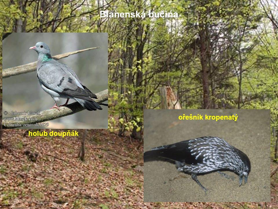 Blanenská bučina holub doupňák ořešník kropenatý