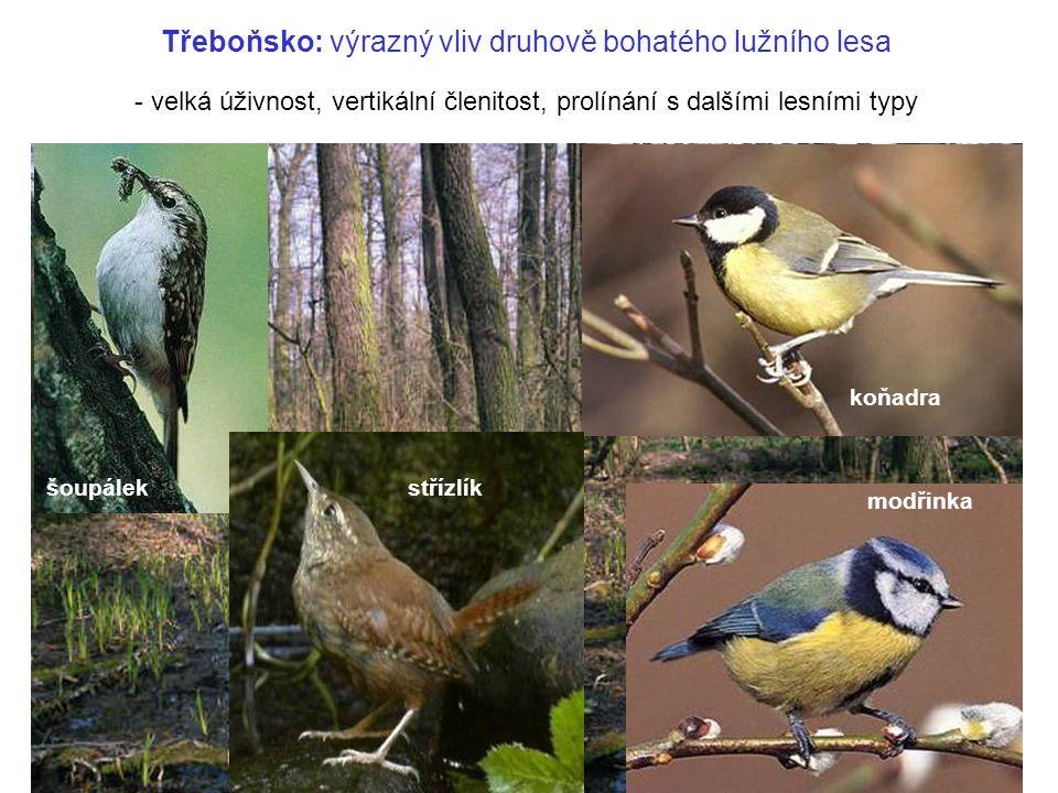 Třeboňsko: výrazný vliv druhově bohatého lužního lesa koňadra modřinka šoupálek střízlík - velká úživnost, vertikální členitost, prolínání s dalšími l