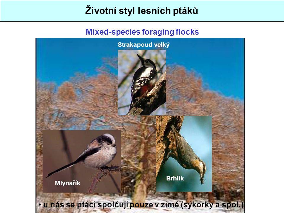 Mixed-species foraging flocks Životní styl lesních ptáků u nás se ptáci spolčují pouze v zimě (sýkorky a spol.) Strakapoud velký Brhlík Mlynařík