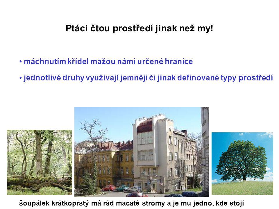 Foto: David Hořák Bulbul Pycnonotus