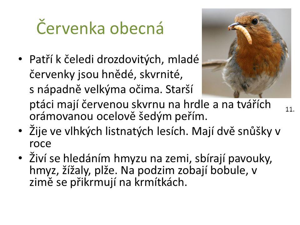Červenka obecná Patří k čeledi drozdovitých, mladé červenky jsou hnědé, skvrnité, s nápadně velkýma očima. Starší ptáci mají červenou skvrnu na hrdle