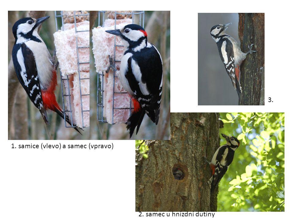 1. samice (vlevo) a samec (vpravo) 2. samec u hnízdní dutiny 3.