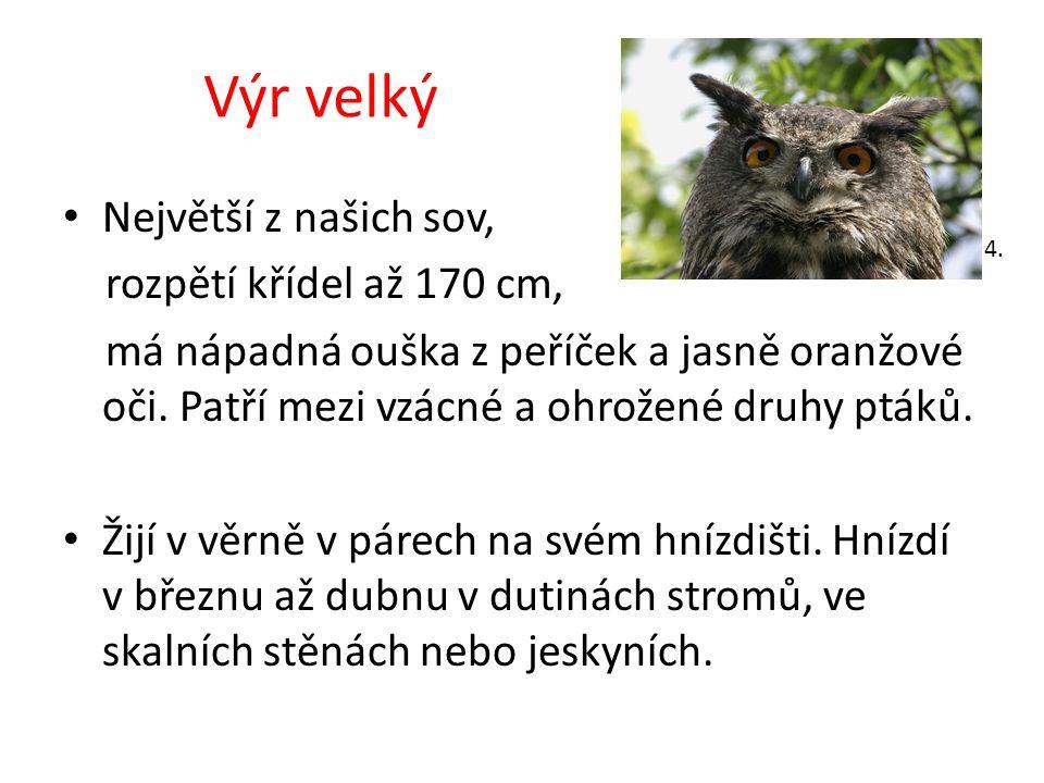 Výr velký Největší z našich sov, rozpětí křídel až 170 cm, má nápadná ouška z peříček a jasně oranžové oči. Patří mezi vzácné a ohrožené druhy ptáků.