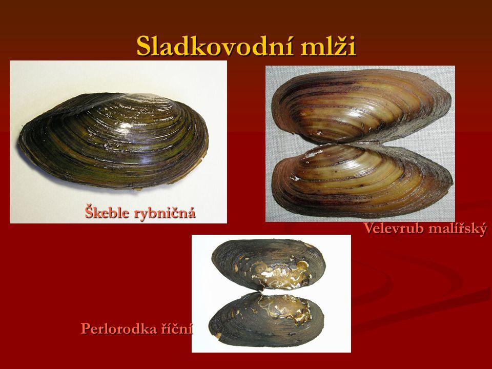 Sladkovodní mlži Velevrub malířský Škeble rybničná Perlorodka říční