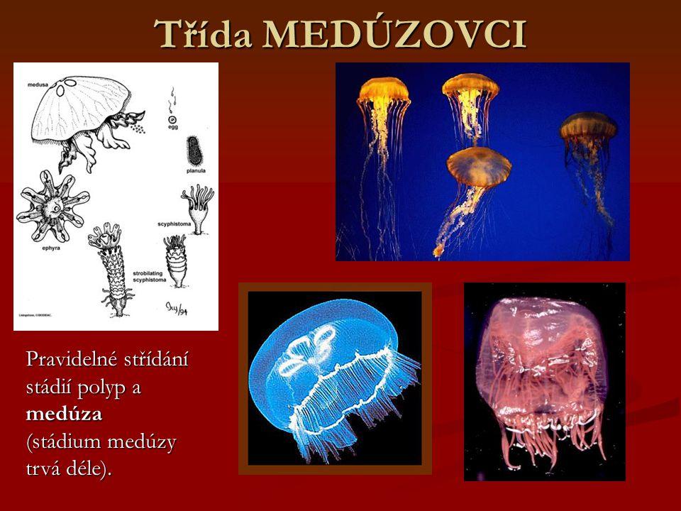Třída MEDÚZOVCI Pravidelné střídání stádií polyp a medúza (stádium medúzy trvá déle).