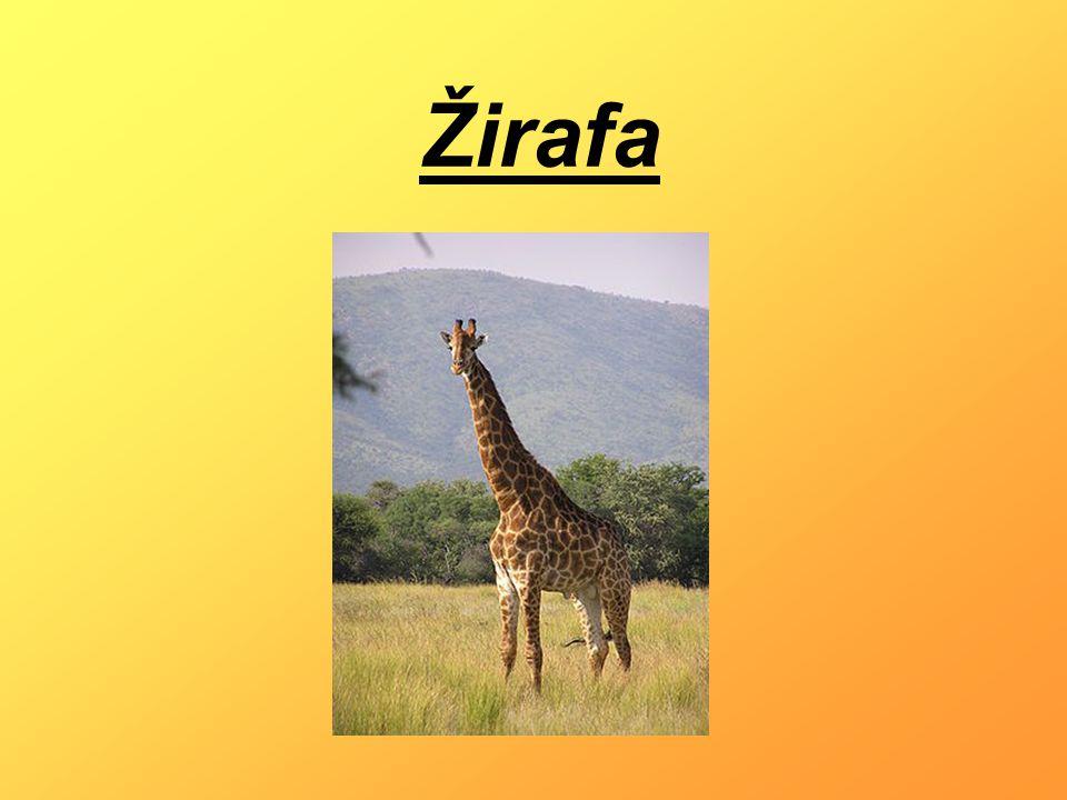 - Je mohutný sudokopytník - Nejvyšší suchozemský živočich na světě - Dosahují Výšky 4,8 a ti nejvyšší až 5,5 m - Váží kolem 900 kg - Dožívají se kolem 25 let - Žijí jen ve skupinách Základní informace