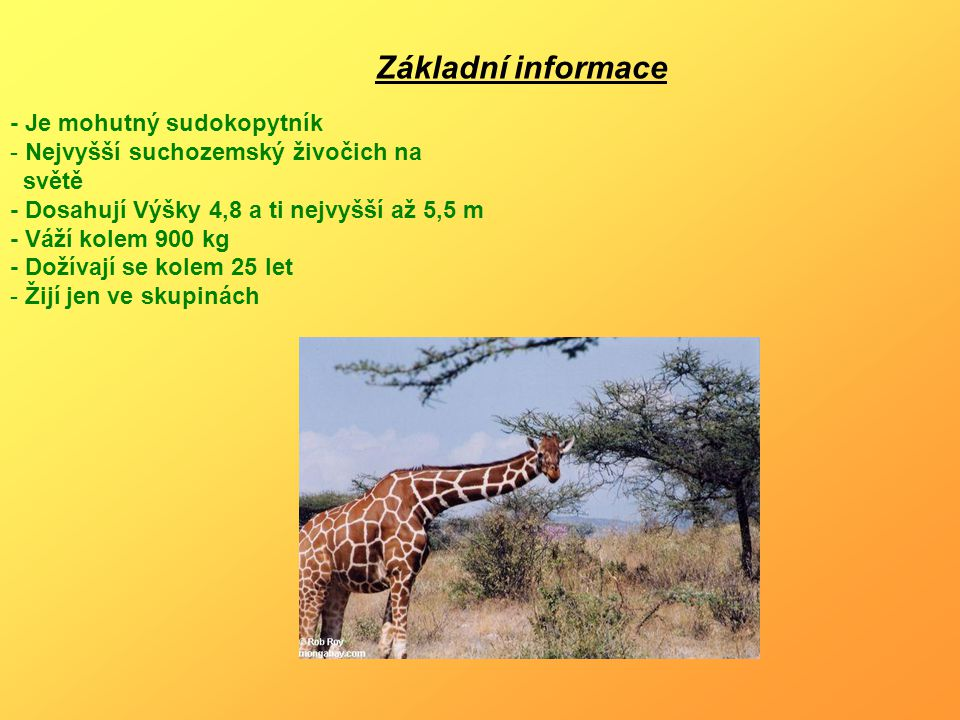 - Je mohutný sudokopytník - Nejvyšší suchozemský živočich na světě - Dosahují Výšky 4,8 a ti nejvyšší až 5,5 m - Váží kolem 900 kg - Dožívají se kolem