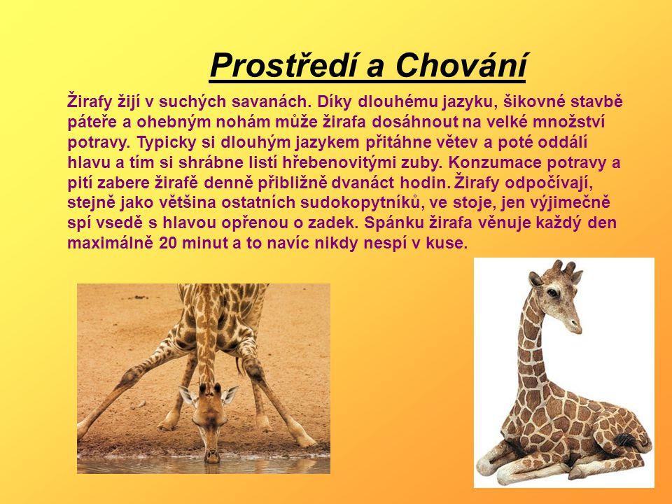 Prostředí a Chování Žirafy žijí v suchých savanách. Díky dlouhému jazyku, šikovné stavbě páteře a ohebným nohám může žirafa dosáhnout na velké množstv