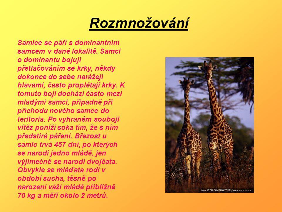 Poddruhy žiraf - Žirafa síťovaná (G.c.