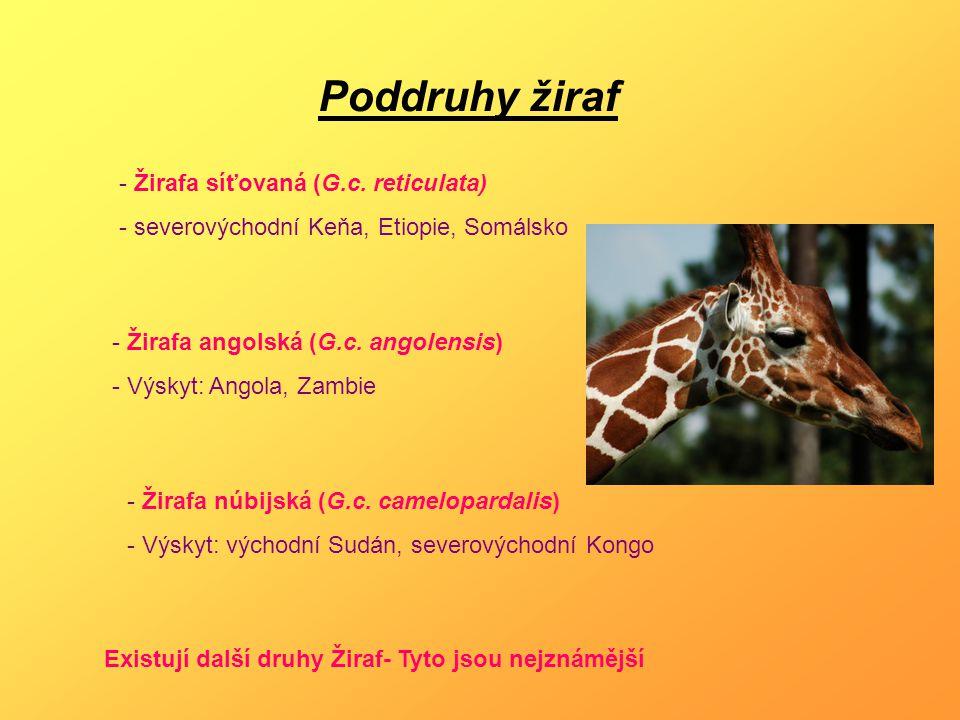 Poddruhy žiraf - Žirafa síťovaná (G.c. reticulata) - severovýchodní Keňa, Etiopie, Somálsko - Žirafa angolská (G.c. angolensis) - Výskyt: Angola, Zamb