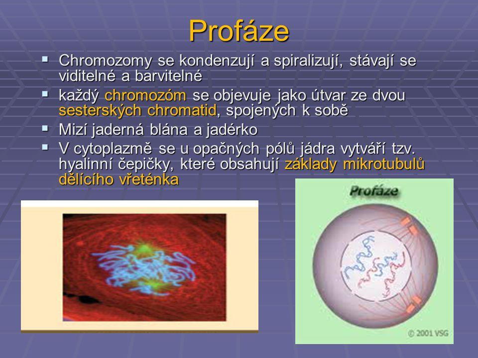 Profáze  Chromozomy se kondenzují a spiralizují, stávají se viditelné a barvitelné  každý chromozóm se objevuje jako útvar ze dvou sesterských chrom