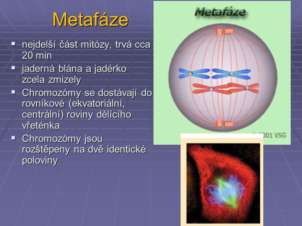 Metafáze  nejdelší část mitózy, trvá cca 20 min  jaderná blána a jadérko zcela zmizely  Chromozómy se dostávají do rovníkové (ekvatoriální, centrál