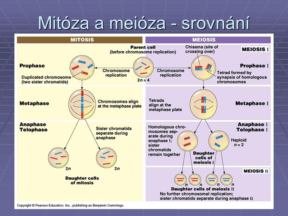 Mitóza a meióza - srovnání