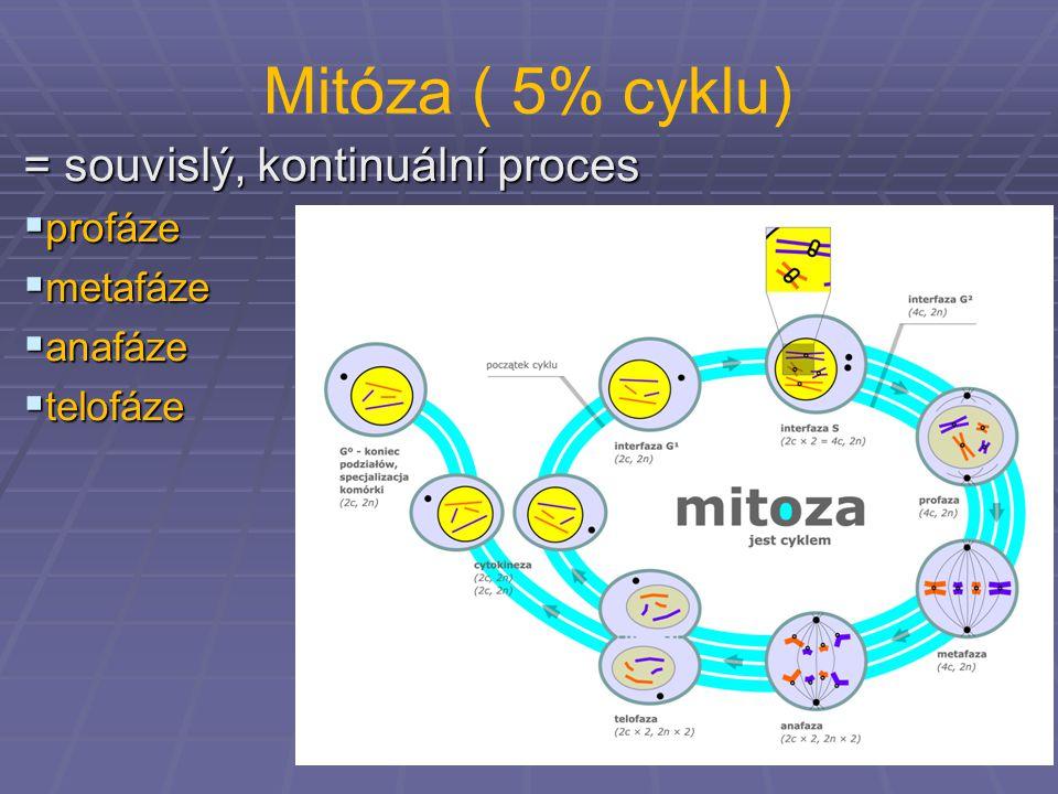 Mitóza ( 5% cyklu) = souvislý, kontinuální proces  profáze  metafáze  anafáze  telofáze