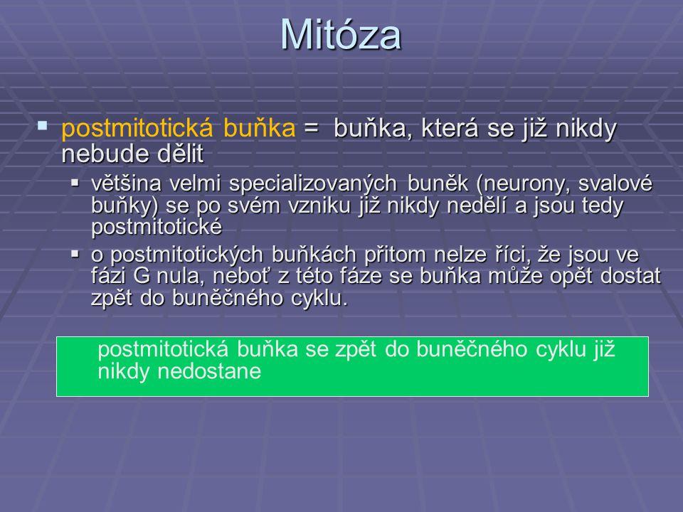 Mitóza  = buňka, která se již nikdy nebude dělit  postmitotická buňka = buňka, která se již nikdy nebude dělit  většina velmi specializovaných buně