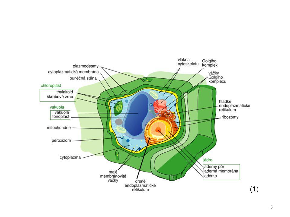 Buněčné povrchy cytoplazmatická membrána stavba: – dvojitá vrstva fosfolipidů, fosfolipidy jsou orientovány hydrofobními konci k sobě – bílkoviny - přenašeči – vyztužení steroidem cholesterolem fce: – vybírá z prostředí látky potřebné pro metabolismus buňky – polopropustná = semipermeabilní 14
