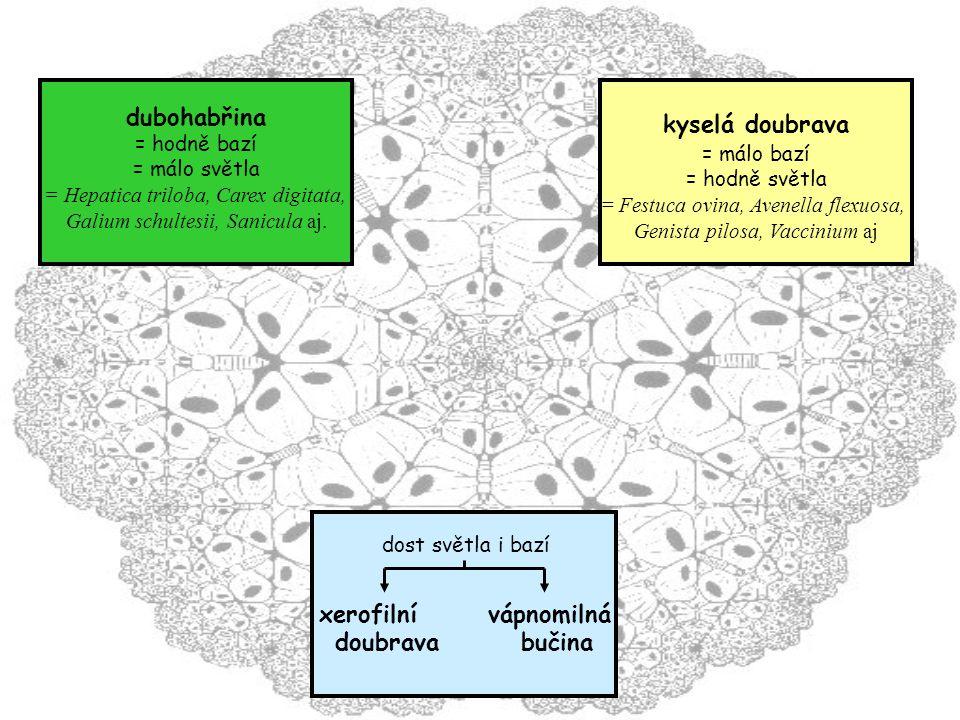 dost světla i bazí xerofilní vápnomilná doubrava bučina dubohabřina = hodně bazí = málo světla = Hepatica triloba, Carex digitata, Galium schultesii, Sanicula aj.