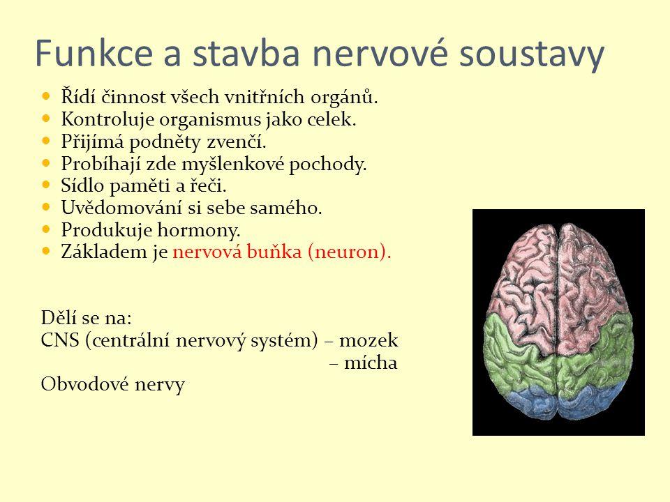 Funkce a stavba nervové soustavy Řídí činnost všech vnitřních orgánů. Kontroluje organismus jako celek. Přijímá podněty zvenčí. Probíhají zde myšlenko