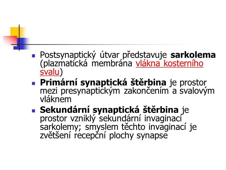 Postsynaptický útvar představuje sarkolema (plazmatická membrána vlákna kosterního svalu)vlákna kosterního svalu Primární synaptická štěrbina je prost