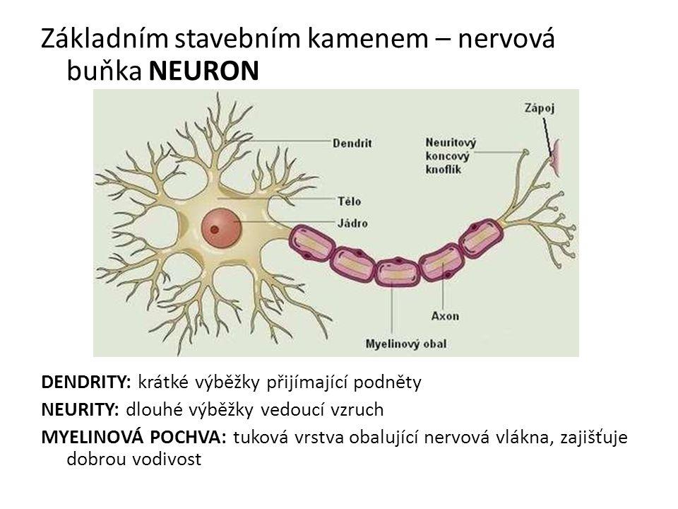 Základním stavebním kamenem – nervová buňka NEURON DENDRITY: krátké výběžky přijímající podněty NEURITY: dlouhé výběžky vedoucí vzruch MYELINOVÁ POCHVA: tuková vrstva obalující nervová vlákna, zajišťuje dobrou vodivost
