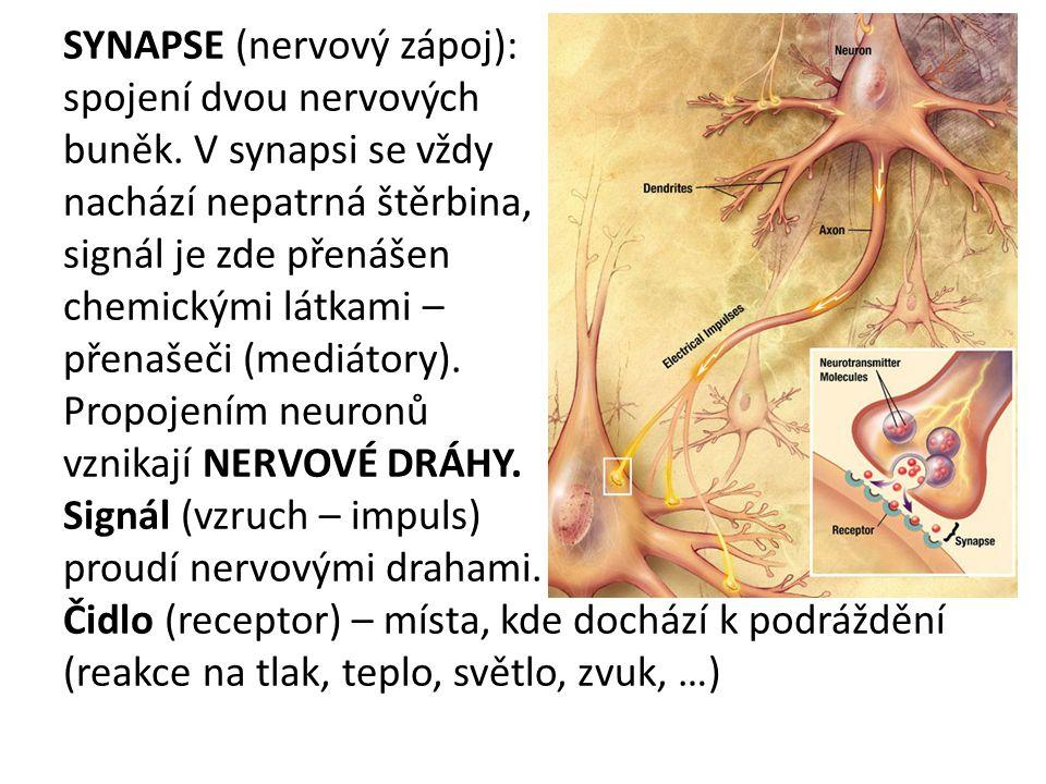 SYNAPSE (nervový zápoj): spojení dvou nervových buněk.