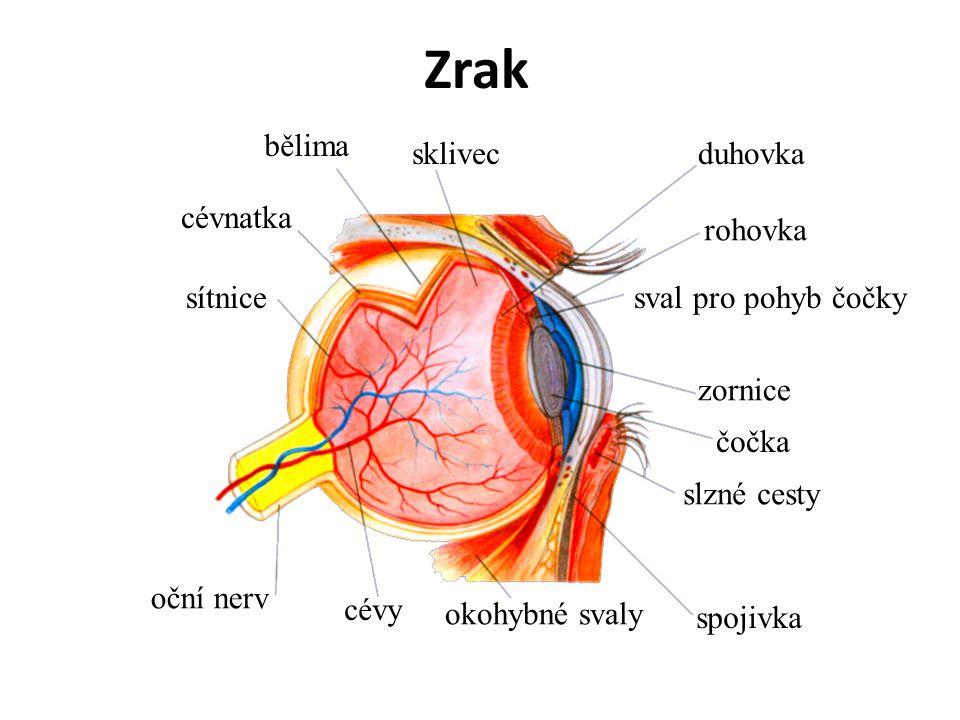 Zrak duhovka rohovka sval pro pohyb čočky zornice čočka slzné cesty spojivka okohybné svaly cévy oční nerv sítnice cévnatka bělima sklivec