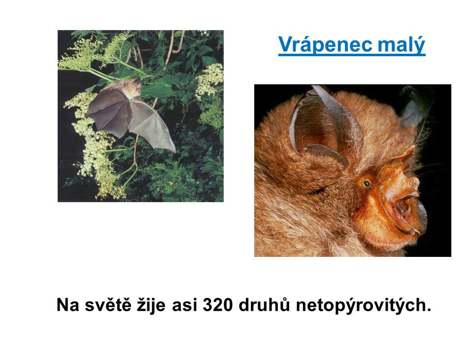 Vrápenec malý Na světě žije asi 320 druhů netopýrovitých.