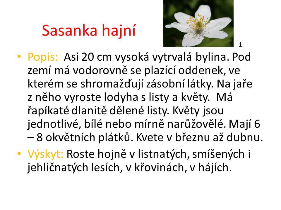 Sasanka hajní Popis: Asi 20 cm vysoká vytrvalá bylina. Pod zemí má vodorovně se plazící oddenek, ve kterém se shromažďují zásobní látky. Na jaře z něh
