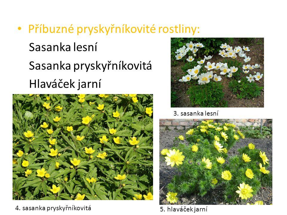 Příbuzné pryskyřníkovité rostliny: Sasanka lesní Sasanka pryskyřníkovitá Hlaváček jarní 3. sasanka lesní 4. sasanka pryskyřníkovitá 5. hlaváček jarní