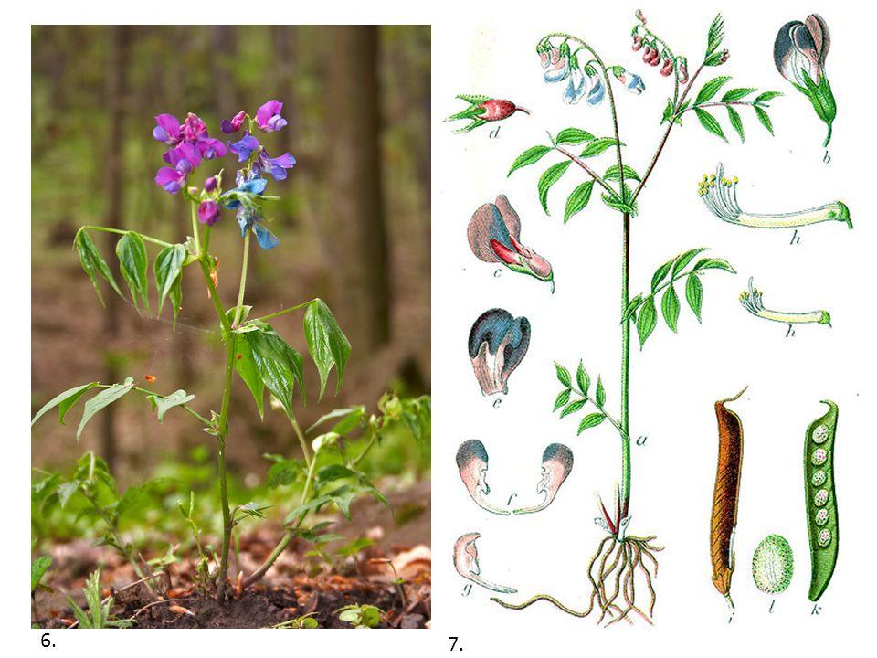 Příbuzné druhy: Hrachor lesní Hrachor hlíznatý Hrachor černý Komonice Vlčí bob Různé druhy jetele a vikví 8.