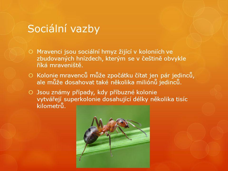 Sociální vazby  Mravenci jsou sociální hmyz žijící v koloniích ve zbudovaných hnízdech, kterým se v češtině obvykle říká mraveniště.  Kolonie mraven