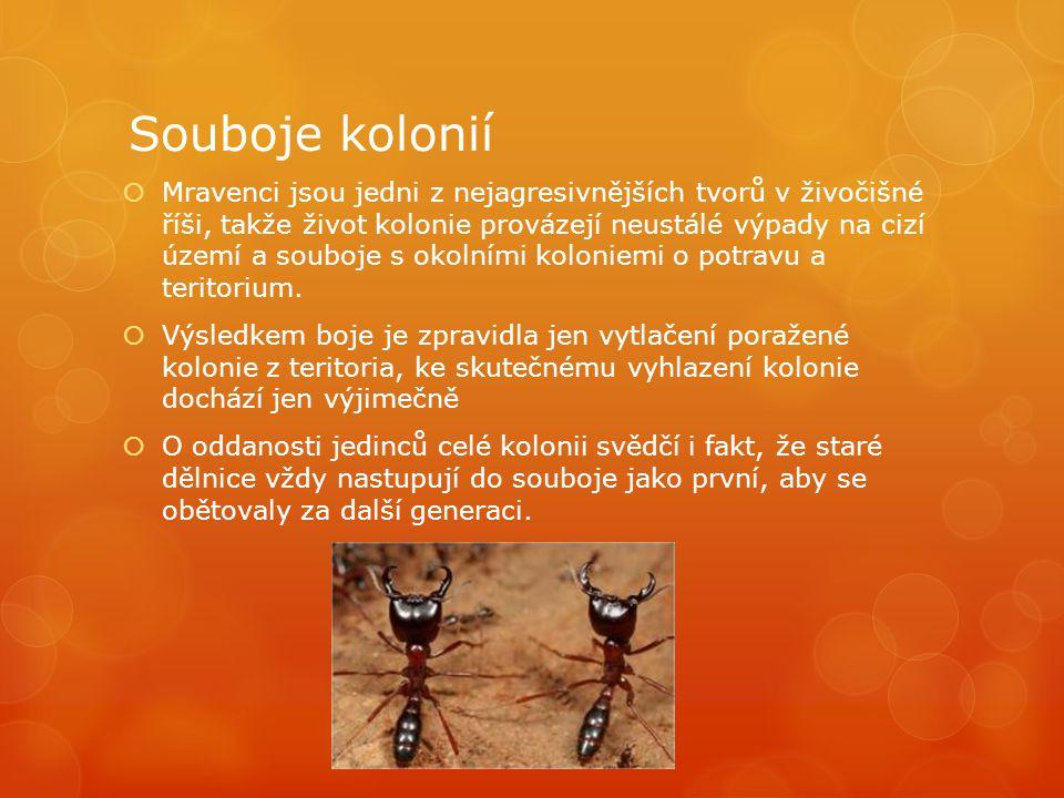 Souboje kolonií  Mravenci jsou jedni z nejagresivnějších tvorů v živočišné říši, takže život kolonie provázejí neustálé výpady na cizí území a souboje s okolními koloniemi o potravu a teritorium.
