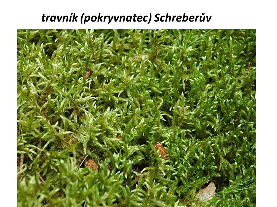 travník (pokryvnatec) Schreberův