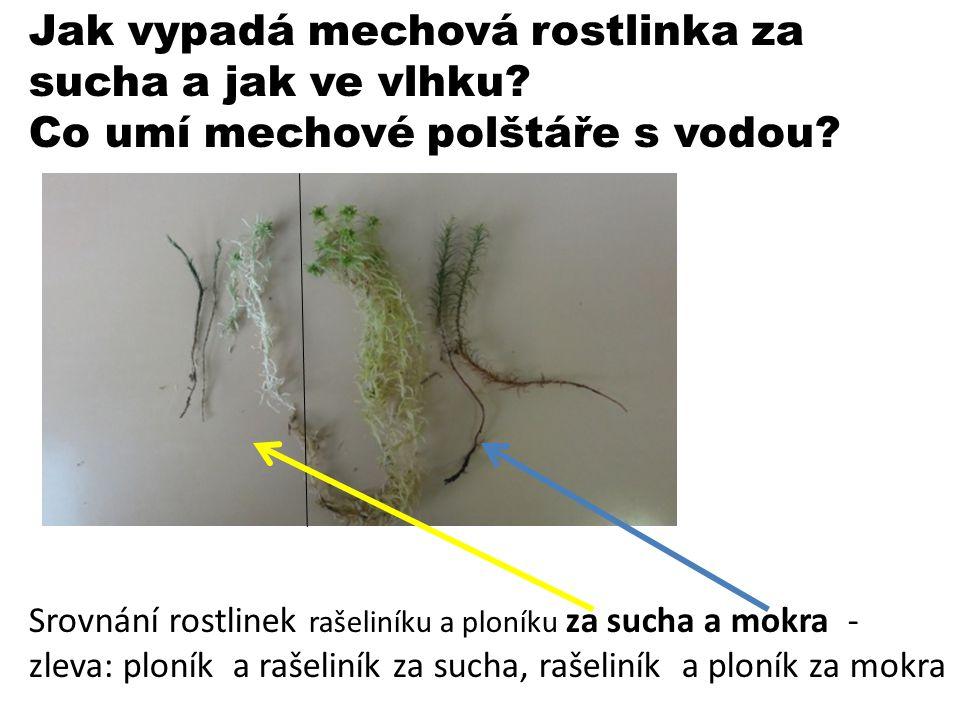 Jak vypadá mechová rostlinka za sucha a jak ve vlhku? Co umí mechové polštáře s vodou? Srovnání rostlinek rašeliníku a ploníku za sucha a mokra - zlev