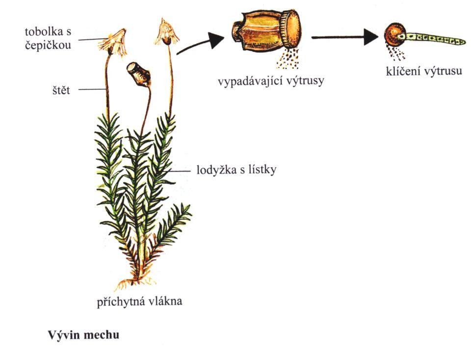 rašeliník – tvoří rašeliniště