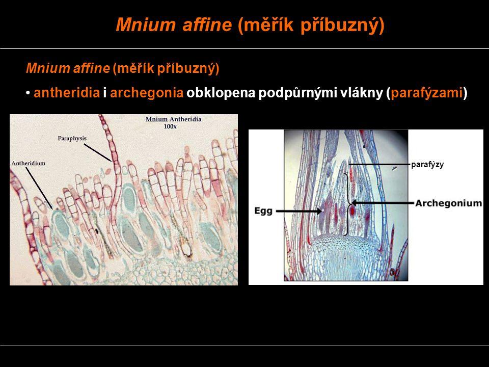 Mnium affine (měřík příbuzný) antheridia i archegonia obklopena podpůrnými vlákny (parafýzami) parafýzy