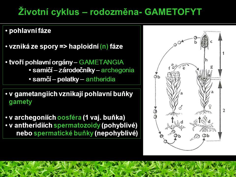 Životní cyklus – rodozměna- GAMETOFYT pohlavní fáze vzniká ze spory => haploidní (n) fáze tvoří pohlavní orgány – GAMETANGIA samičí – zárodečníky – ar