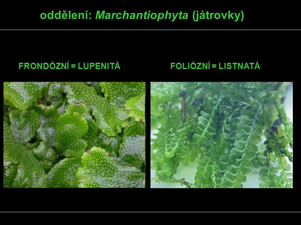 oddělení: Marchantiophyta (játrovky) FRONDÓZNÍ = LUPENITÁFOLIÓZNÍ = LISTNATÁ