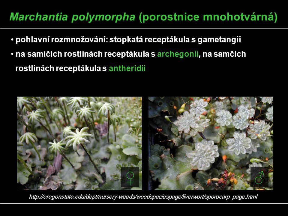 pohlavní rozmnožování: stopkatá receptákula s gametangii na samičích rostlinách receptákula s archegonii, na samčích rostlinách receptákula s antherid