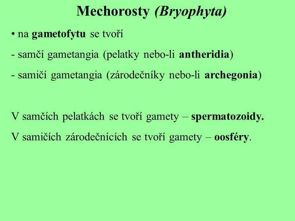Mechorosty (Bryophyta) na gametofytu se tvoří - samčí gametangia (pelatky nebo-li antheridia) - samičí gametangia (zárodečníky nebo-li archegonia) V s