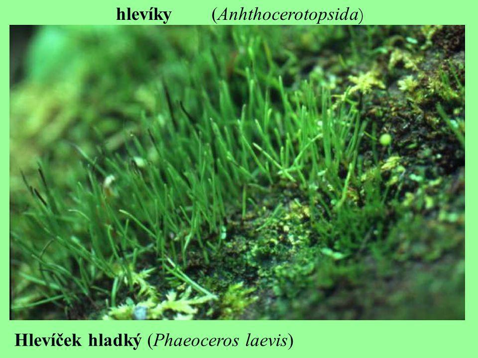 hlevíky(Anhthocerotopsida ) Hlevíček hladký (Phaeoceros laevis)