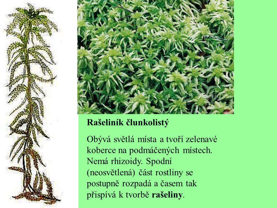 Rašeliník člunkolistý Obývá světlá místa a tvoří zelenavé koberce na podmáčených místech. Nemá rhizoidy. Spodní (neosvětlená) část rostliny se postupn